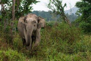 Vild asiatisk elefant. Fotograf: Rolf Svedjeholm